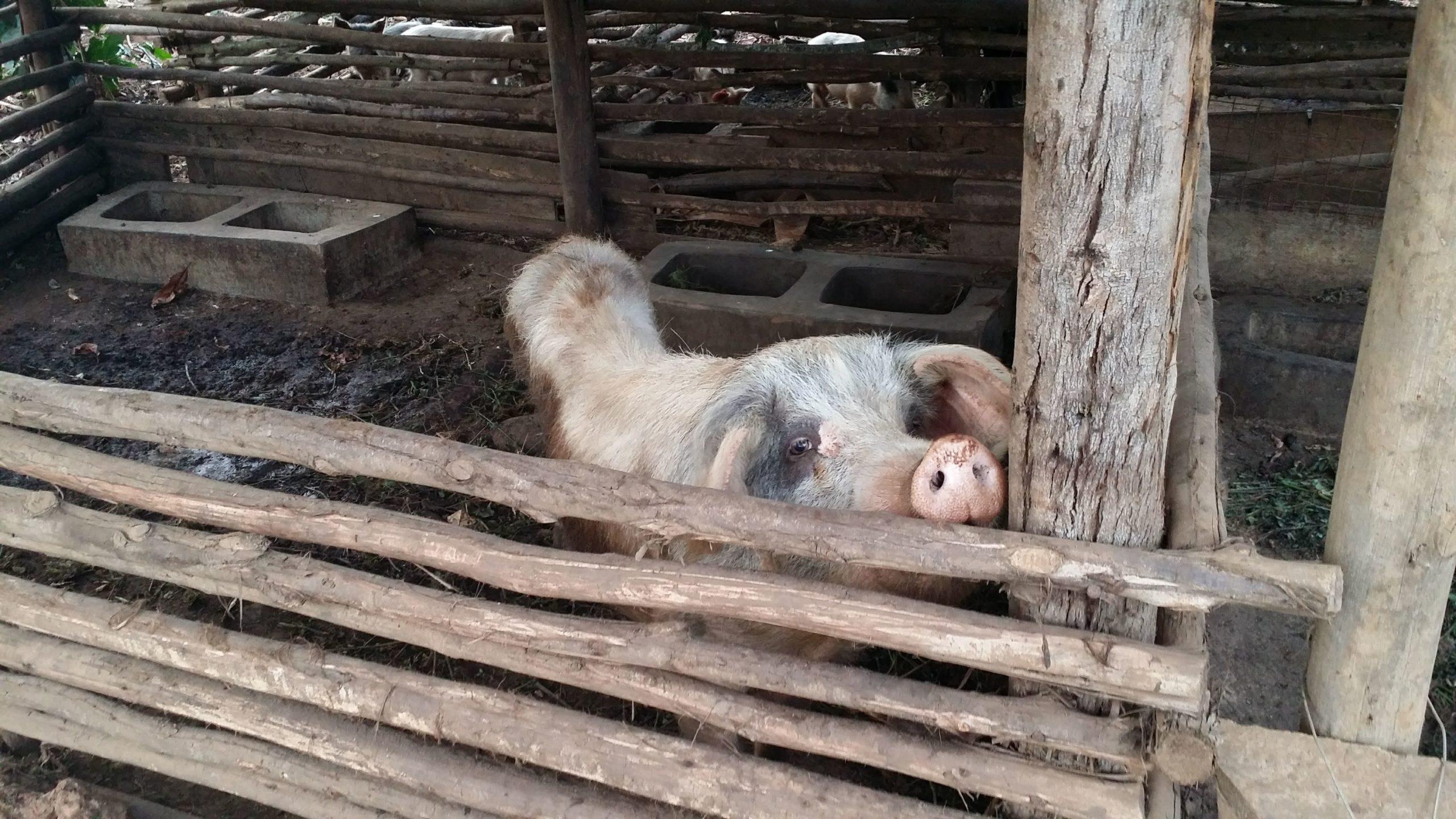 KCVの豚